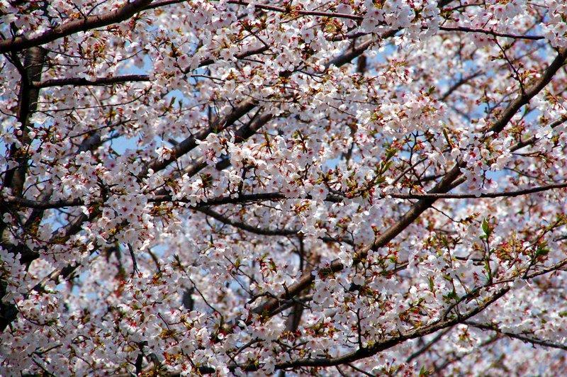 2007-04-29_Cherry_1_2007-04-08_11:10:08_small.jpg
