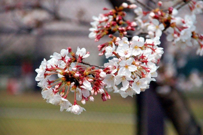 2007-04-29_Cherry_4_2007-04-08_13:55:35_small.jpg