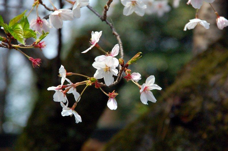 2007-04-29_Cherry_6_2007-04-08_13:21:06_small.jpg
