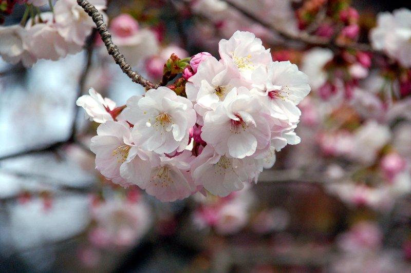 2007-04-29_Cherry_9_2007-04-08_14:10:02_small.jpg