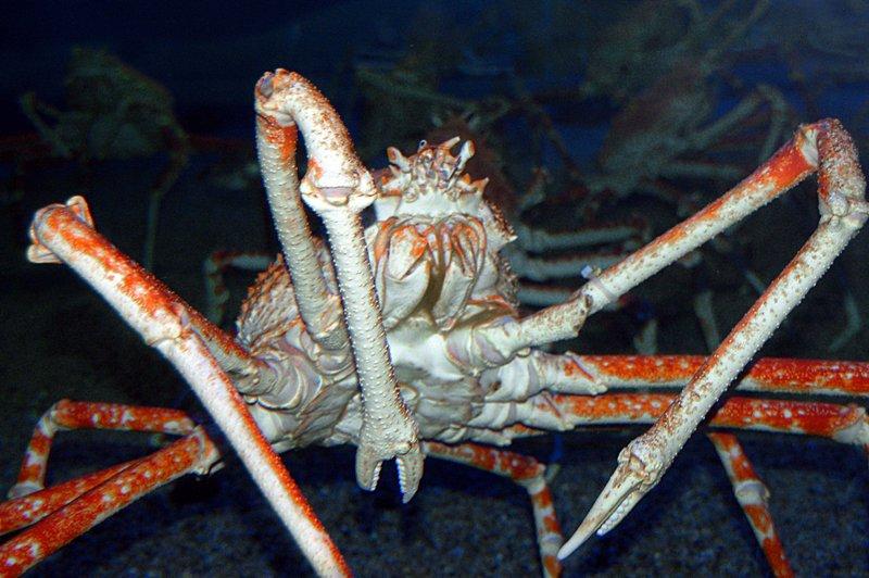 2007-04-29_Kaiyukan_1_spider_crab_2007-04-13_10:53:21_small.jpg