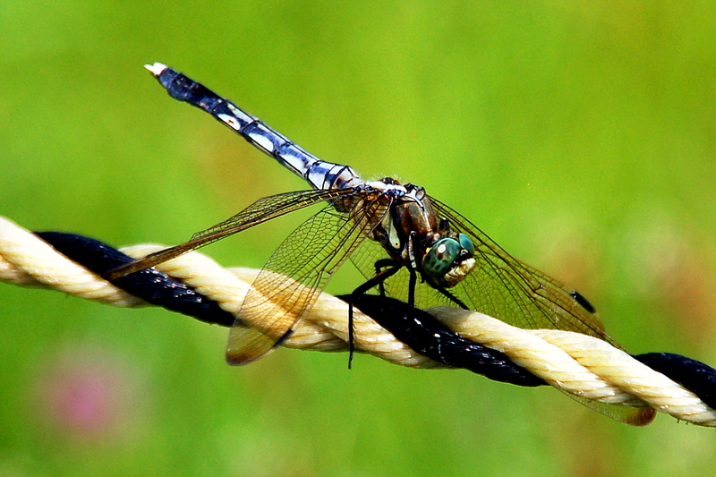 2009-02-07_Insects_Dragonfly_1_small.jpg